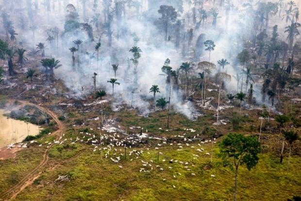 rainforest-cow-destruction